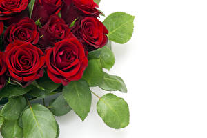 Фотографии Розы Крупным планом Бордовый Листья Белый фон Цветы