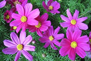 Обои Космея Крупным планом Розовые цветок