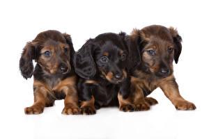 Фотографии Собаки Таксы Щенки Трое 3 Белый фон Животные