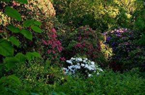 Фотография Ирландия Сады Рододендрон Кусты Dublin Природа