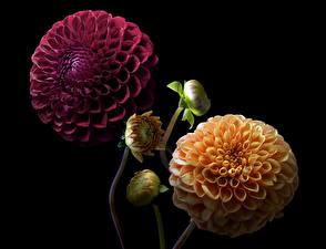 Картинка Георгины Крупным планом Черный фон Бутон Две цветок