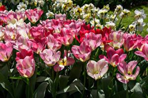 Обои Тюльпаны Крупным планом Много Цветы фото