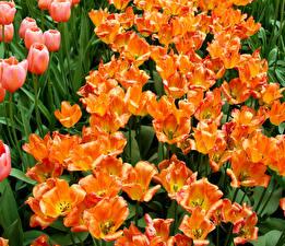 Обои Тюльпаны Крупным планом Много Оранжевый Цветы фото