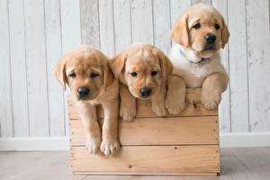 Картинки Собаки Щенки Трое 3 Ретривера Животные
