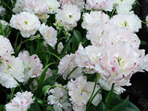 Картинки Тюльпаны Вблизи Белые цветок