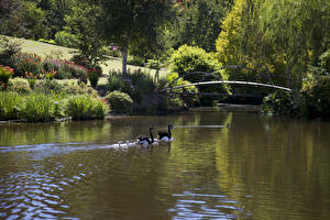 Картинки Англия Парки Пруд Мосты Лебеди Кусты Walsall Garden Природа