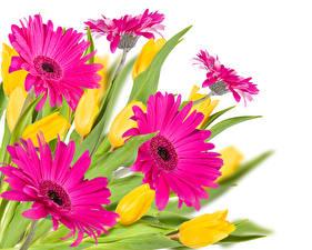 Картинки Герберы Крупным планом Розовые Белый фон цветок