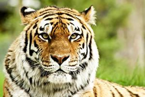 Обои Большие кошки Тигры Морда Взгляд Животные фото