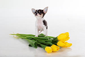 Картинка Собаки Тюльпан Чихуахуа Желтых Белый фон Животные Цветы