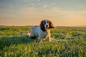 Картинки Собака Спаниель Трава животное