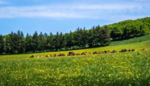 Обои Лето Одуванчики Корова Луга Деревья Природа фото