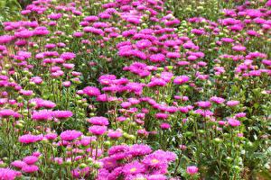 Фотография Астры Много Розовый цветок