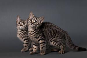 Обои Кошки Двое Взгляд Цветной фон Животные фото