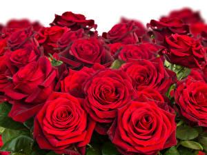 Фото Розы Вблизи Бордовый Красный Цветы