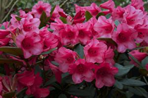 Фото Рододендрон Вблизи Розовый Цветы