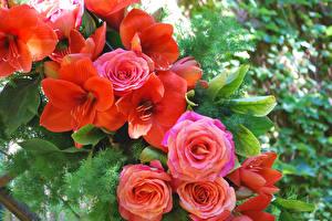 Фотографии Розы Амариллис Вблизи Цветы