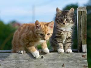 Фотография Кот Двое Котята Рыжая Животные