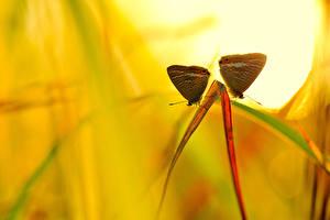 Обои Насекомые Бабочки Двое