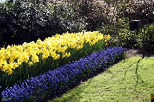 Картинки Нидерланды Парки Гиацинты Нарциссы Keukenhof Gardens Природа