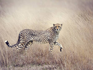 Картинки Большие кошки Гепарды Трава