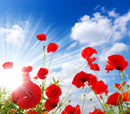 Обои Маки Небо Красный Облака Лучи света Цветы