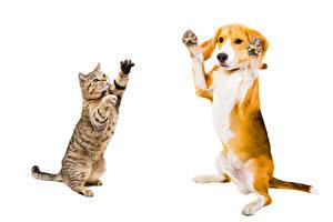 Фото Собаки Коты Двое Бигль Белый фон