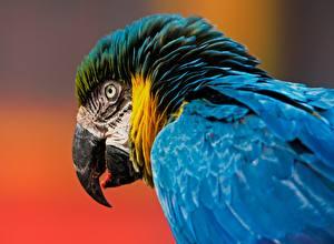 Фото Птицы Попугаи Крупным планом Ара (род) Клюв Животные