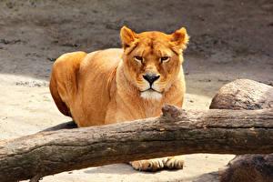 Обои Большие кошки Львы Взгляд Ствол дерева Животные фото