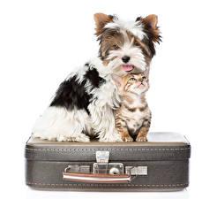 Фото Собака Кошка Чемоданы Вдвоем Йоркширский терьер Котята Белый фон Животные