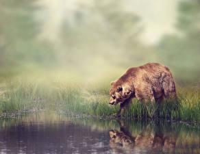 Картинки Медведь Гризли Вода Трава животное