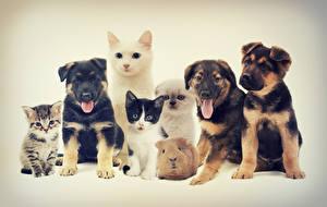 Картинки Собаки Кошки Морские свинки Цветной фон Бигль Котята