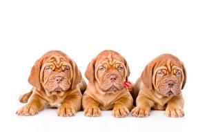 Фотография Собаки Белый фон Щенки Втроем Бордоский дог Животные