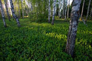 Фото Финляндия Леса Березы Трава Ствол дерева Природа