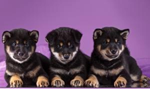 Картинки Собаки Щенков Трое 3 Акита-ину Животные