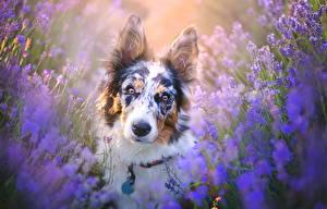 Обои Собаки Лаванда Взгляд Животные фото