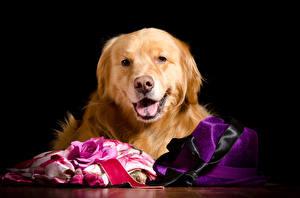 Обои Собаки Розы Ретривер Взгляд Шляпа Черный фон Животные фото