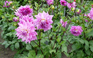 Фотографии Георгины Крупным планом Розовый Бутон цветок