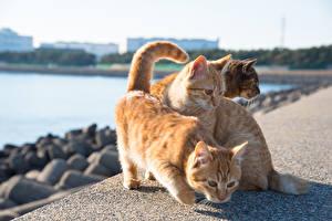 Обои Кошки Трое 3 Рыжий Животные