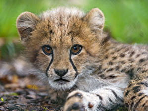 Картинки Гепарды Детеныши Смотрит ©Tambako The Jaguar