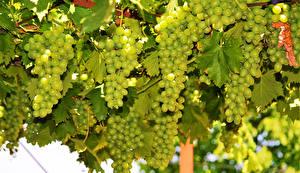 Обои Виноград Крупным планом Ветки Листья Еда фото