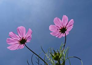 Фотография Космея Вблизи Два Розовый цветок