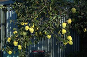 Обои Фрукты Ветвь quince Природа