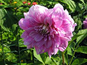 Обои Георгины Вблизи Розовая цветок