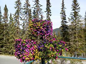 Картинки Канада Парк Петуния Банф Ель Cascade Gardens