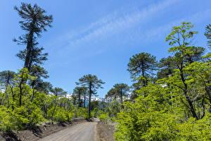Картинки Чили Парк Небо Дороги Кустов Дерева Conguillio National Park Природа