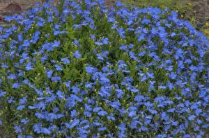 Фото Колокольчики - Цветы Много Голубой Цветы