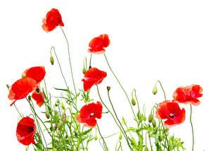 Картинки Маки Вблизи Красный Бутон Белый фон Цветы