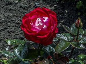 Фотография Розы Крупным планом Бутон Бордовый Цветы