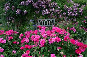 Фотографии Англия Сады Розы Много Кустов Розовых Rosemoor Rose Garden Devon Цветы