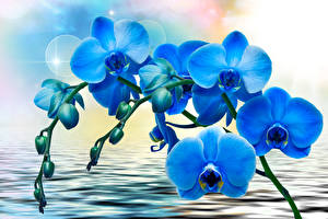 Фото Орхидеи Воде Синий Цветы